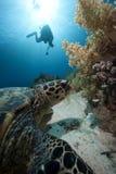 De schildpad van Hawksbill het voeden Stock Fotografie