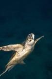 De schildpad van Hawksbill (imbricata Eretmochelys) Stock Foto