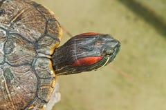 De Schildpad van Hermann Stock Afbeelding