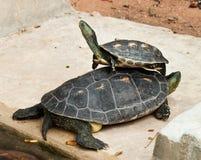De Schildpad van Hermann Stock Afbeeldingen