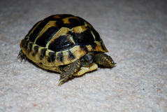 De schildpad van Hermann Royalty-vrije Stock Afbeeldingen