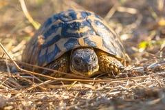 De schildpad van Hermann is kleine tot middelgrote schildpadden van sout Stock Afbeeldingen