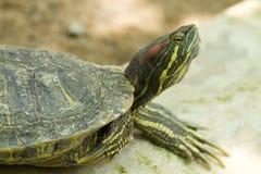 De Schildpad van het gras Stock Fotografie