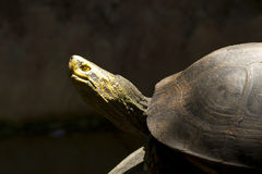 De Schildpad van het gras in dierentuin Royalty-vrije Stock Afbeelding