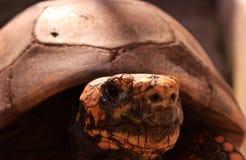 De schildpad van het land Stock Afbeeldingen