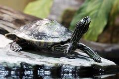 De schildpad van het water stock afbeelding