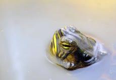De schildpad van het water Royalty-vrije Stock Afbeeldingen