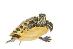 De schildpad van het water Stock Foto