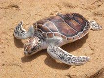 De schildpad van Leatherback op strand Phuket stock afbeelding