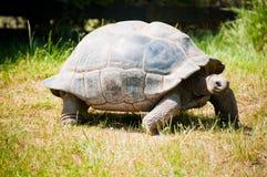 De schildpad van santa-Cruz Galápagos Royalty-vrije Stock Afbeeldingen