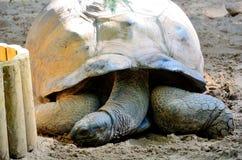 De schildpad van Seychellen Schildpad van Seychellen Stock Afbeeldingen