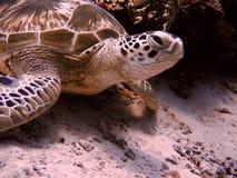 De Schildpad van Sipadan Stock Afbeeldingen