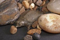 De schildpad van Softshell Royalty-vrije Stock Afbeeldingen