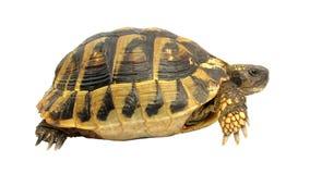 De schildpad van testudohermanni van de schildpad Stock Afbeeldingen
