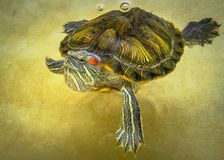 De schildpad zwemt in de water hoogste mening Royalty-vrije Stock Fotografie