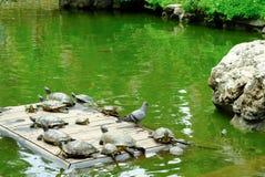 De schildpadden die in de vijver van van Wat Prayoon Wongsawat zonnebaden Royalty-vrije Stock Fotografie