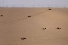 De schildpadden geven geboorte Stock Foto's