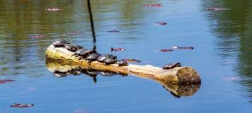 De schildpadden nemen zon bij de Botanische Tuin van Montreal royalty-vrije stock foto
