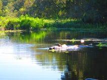 De schildpadden rusten op een logboek, langs de bank van een rivier van Florida stock afbeelding