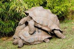 De Schildpadden van Aldabra Royalty-vrije Stock Foto