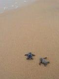 De schildpadden van de baby Stock Afbeeldingen