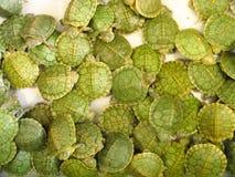 De Schildpadden van de baby Royalty-vrije Stock Foto's