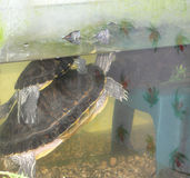 De schildpadden van de liefde Stock Fotografie