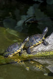 De schildpadden van de vijverschuif het zonnebaden Royalty-vrije Stock Afbeeldingen