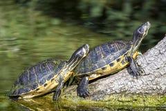 De schildpadden van de vijverschuif het zonnebaden Stock Afbeelding