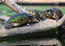 De Schildpadden van het water op tak Royalty-vrije Stock Afbeeldingen