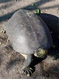 De schildpadden zet hoofd zoekt omhoog het voeden Royalty-vrije Stock Foto's