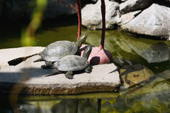 De schildpadden zonnebaden in de zon Royalty-vrije Stock Foto