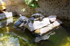 De schildpadden zonnebaden in de zon in het aquarium Royalty-vrije Stock Afbeelding