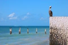 De Schildwacht van de pelikaan stock foto