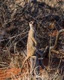 De schildwacht van Meerkat stock fotografie