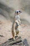 De Schildwacht van Meerkat Stock Foto
