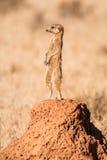 De schildwacht van Meerkat stock afbeeldingen