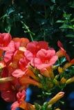 De schitterende bloeiende Roze Bloemen van de Trompetwijnstok stock foto