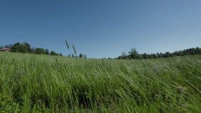 De schitterende mening van het aardlandschap Groen gras die in de wind slingeren Groen grasgebied op blauwe hemelachtergrond stock videobeelden