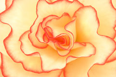 De Schittering van de begonia Stock Foto