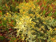 De schittering van Wilde Ijsinstallatie bloeit bij de de Vuurtorengronden van Cabo DA Roca royalty-vrije stock foto