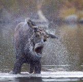 De Schok van Amerikaanse elanden Stock Fotografie