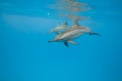 De scholende dolfijnen van de Spinner. Selectieve nadruk. Stock Afbeeldingen