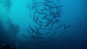 De school van barracuda's van blauw water zwemt binnen overlappingen stock video