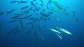 De school van barracuda's van blauw water zwemt binnen overlappingen stock footage