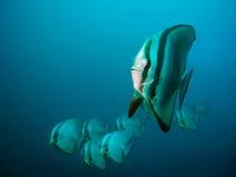 De school van Batfish Royalty-vrije Stock Afbeeldingen