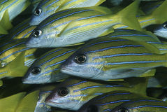 De school van Mozambique Indische Oceaan van bluestripesnappers (Lutjanus-kasmira) close-up Stock Afbeeldingen
