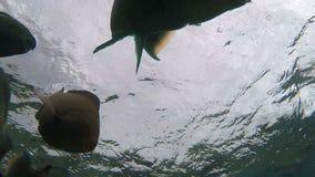 De school van tropische vissen zwemt dichtbij het koraalrif stock footage