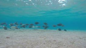 De school van tropische vissen zwemt onder water stock video