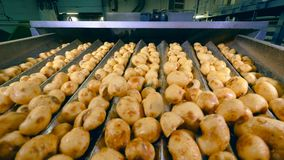 De schoongemaakte aardappelknollen schudden en bewegen zich langs de vervoerder stock videobeelden